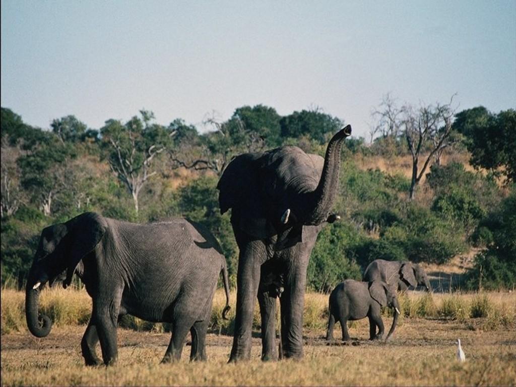 *éléphants